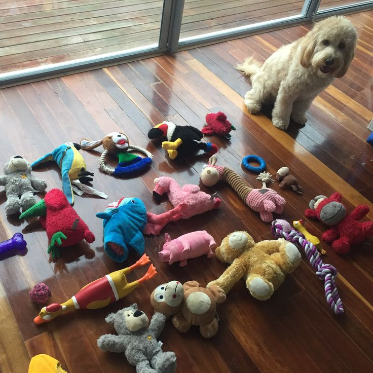 Cockapoo / spoodle and her toys  @daisy.mccrazy