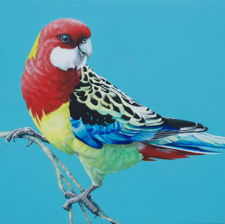 Eastern Rosella  60cm x 60cm acrylic on canvas Commissioned painting 2014