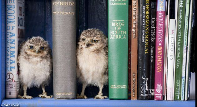 BABY OWLSNew Home, Book Worms, Little Owls, Favorite Things, Baby Owls, Bookcas, Burrowing Owls, Birds, Animal