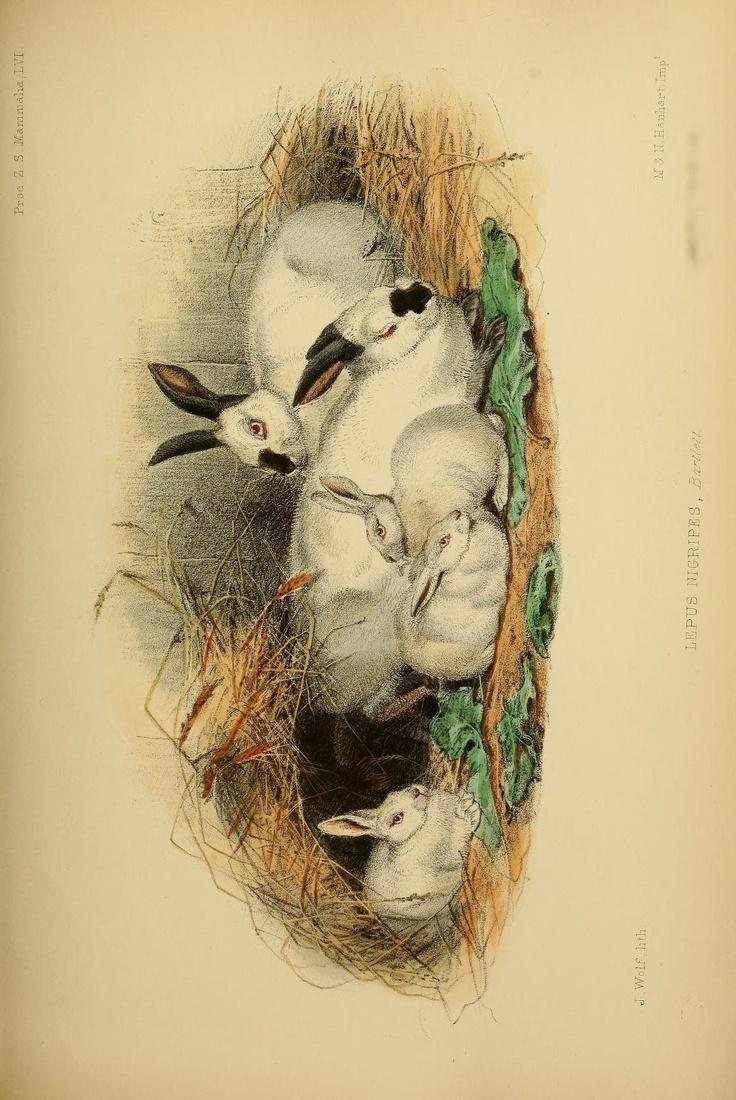 Lepus nigripes. Proceedings of the Zoological Society of London. v.1 plates: Mammalia (1848-1860) London :Academic Press, [etc.],1833-1965. Biodiversitylibrary. Biodivlibrary. BHL. Biodiversity Heritage Library