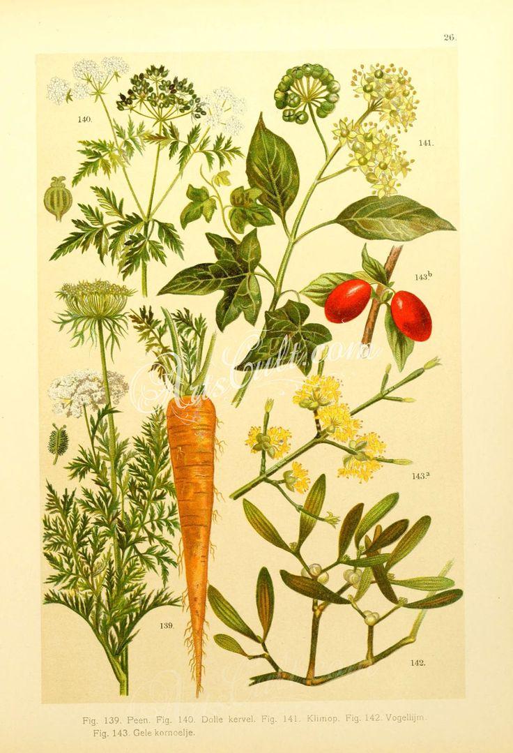 conium maculatum, daucus carota, cornus mas, hedera helix, viscum album      ...