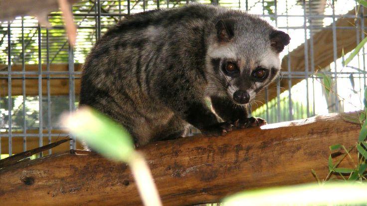 Asian Palm Civet - Kapi'yva Exotics