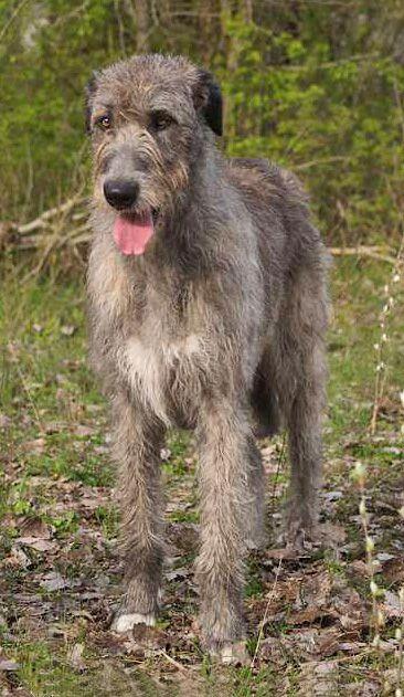 Agripinne - Irish wolfhound —