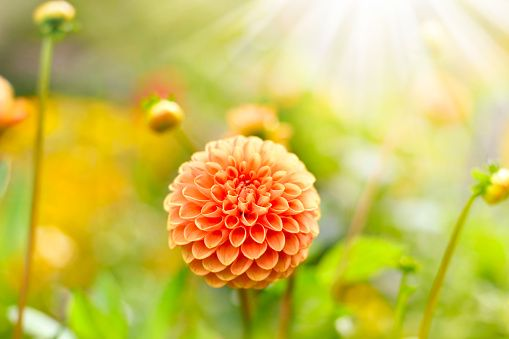 Anemone Flower Pictures, Images and Stock Photos - iStock
