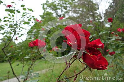 Bushes with red roses grow in the garden