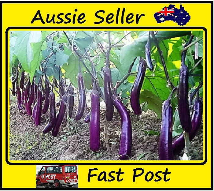 Giant Purple Eggplant Seeds Vegetable Seeds 100 Seed Lots Easy Grow Home Garden