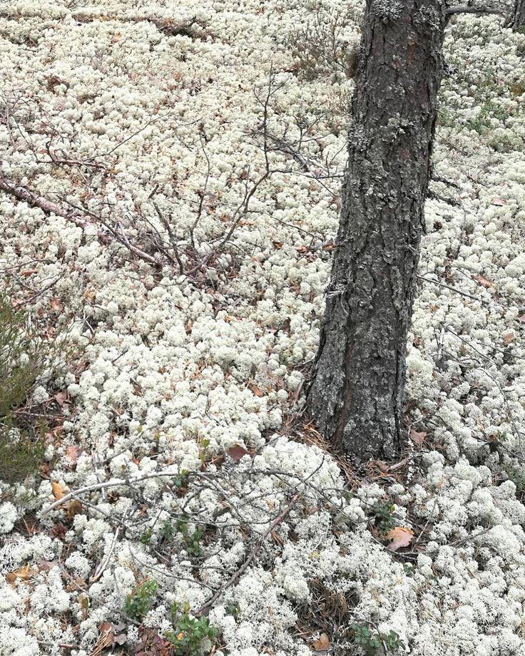 """36 tykkäystä, 1 kommenttia - marjo (@marjo.kolehmainen) Instagramissa: """"#ahmas #forest #geopark #rokua #landscape #summer #summertime #wonderful #nature"""""""