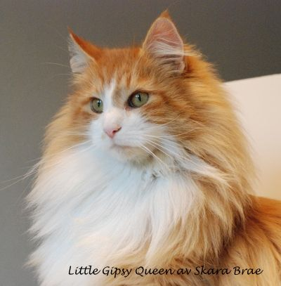 31 best Fiery Red Norwegian Forest Cat images on Pinterest ...