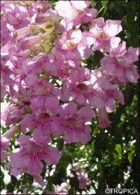 Podranea ricasoliana - Rosa Trompetenblume - Anleitungen Saatgut & Samen & Sorten - GREEN24 Hilfe Pflege Bilder