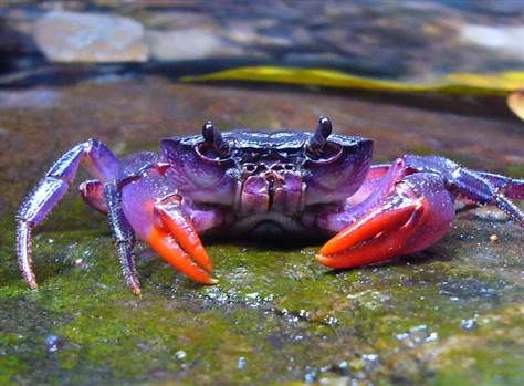 bright purple crab? (Photo credit: Senckenberg Research Institute): Palawan Philippines, Color, National Geographic, Crabs Species, Islands, Insulamon Palawanen, Purple Crabs, Photo, Animal