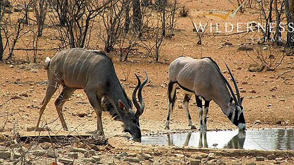 The Ongava Reserve – October 2013 Kudu and oryx drink side by side - #Africa #Namibia #Safari #WildernessSafaris