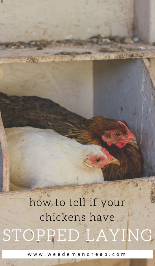 HOW TO TELL IF A CHICKEN HAS STOPPED LAYING EGGS