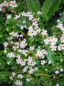 Saxifraga × urbium - Wikipedia, the free encyclopedia
