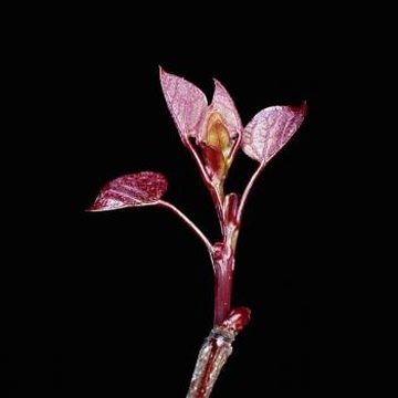 How to Make Cuttings From a Redbud Tree