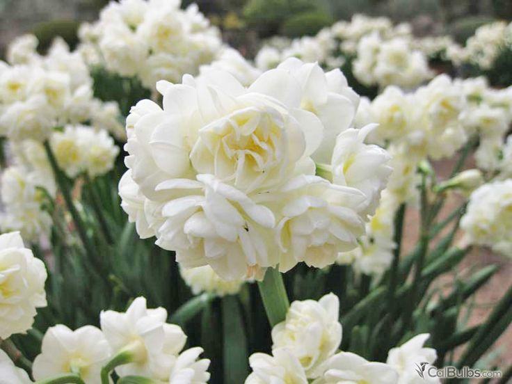 New Fall Planted Bulb! Narcissus tazetta