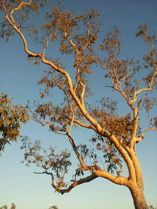 Afternoon rays on a Salmon Gum, one of many species of Eucalypts found along the Jatbula Trail