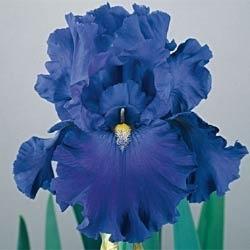 Blue Suede Shoes Reblooming Iris