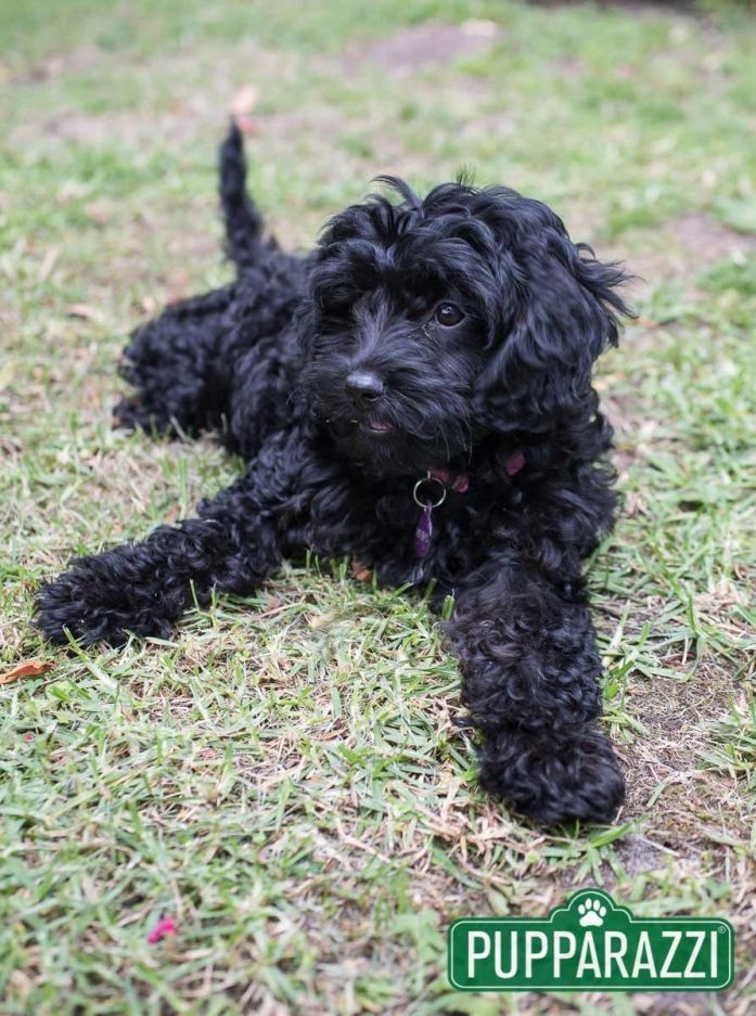 Lucia The Black Cavoodle Puppy Read More At Https Www Pupparazzi Com Au Lucia Black Cavoodle Puppy Melbou Professional Pet Photography Puppies Beautiful Dogs
