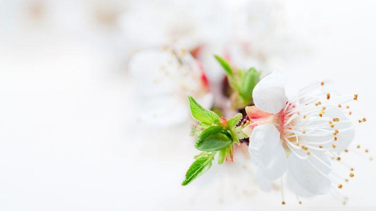 White Flowers Wallpaper HD For Desktop in High Resolution