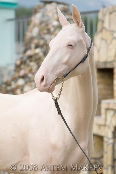 An akhal teke horse from Turkmenistan, Very rare breed known for metalic shimmer of their coat. Name: Amuzghi (Polot – Aria) 2001 stallion, line El / Garayusup (Mangyt – Oprava), 2000 stallion, line Posman