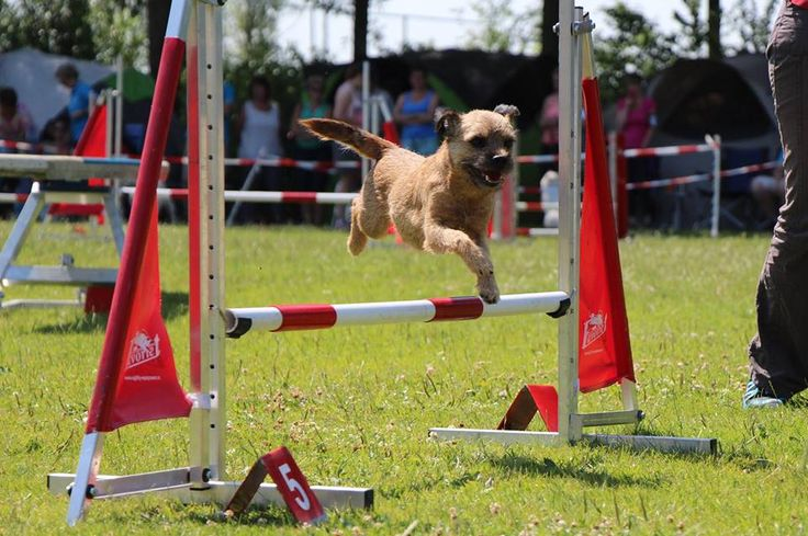 Border terrier Eddie and his agility fun