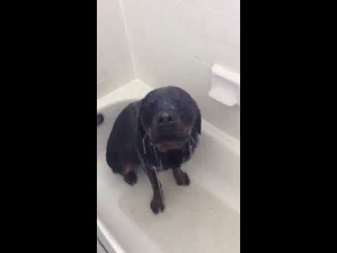 This Rottweiler Loves to Take Showers! <3
