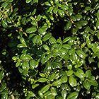 Chesapeake Japanese Holly (Ilex crenata 'Chesapeake') at Hicks Nurseries Thumbnail