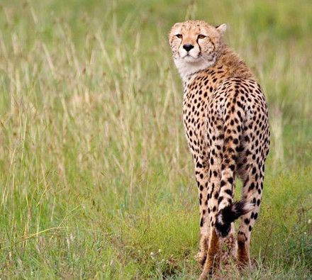 360,000 Euro for Namibian cheetah conservation