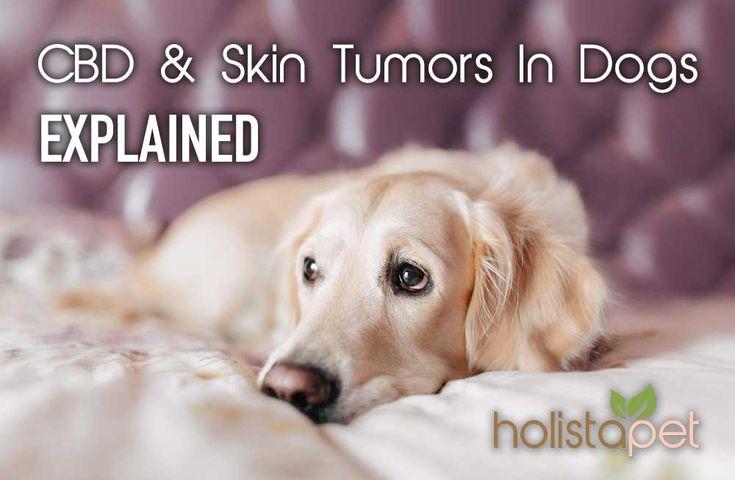 CBD and Skin Tumors In Dogs explained here at #HolistaPet #CBDfordogs https://holistapet.com/cbd-and-skin-tumors-in-dogs-explained/