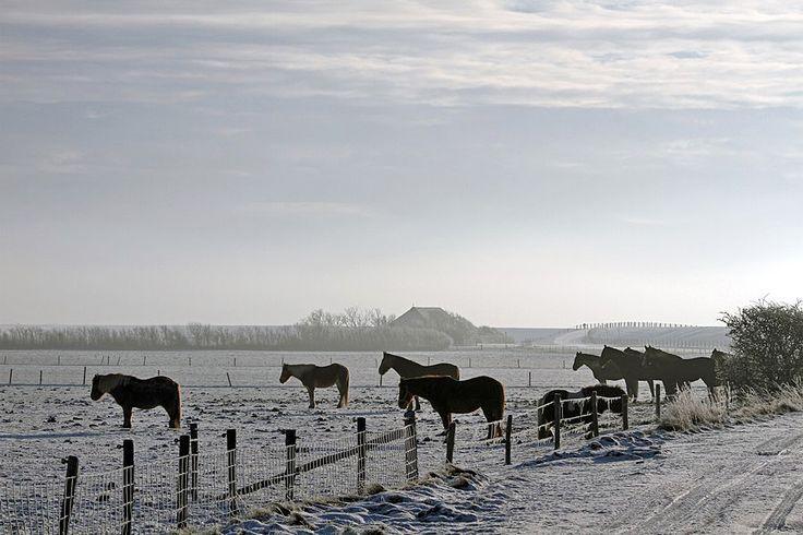 Paarden op Ameland in de winter