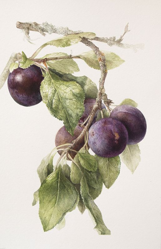 Botanical Paintings by Elaine Searle