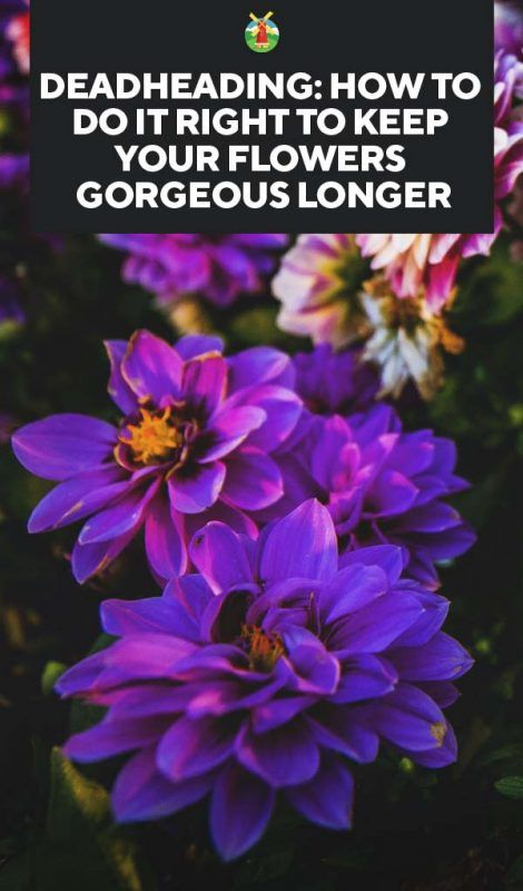 Deadheading: How to Do It Right to Keep Your Flowers Gorgeous Longer