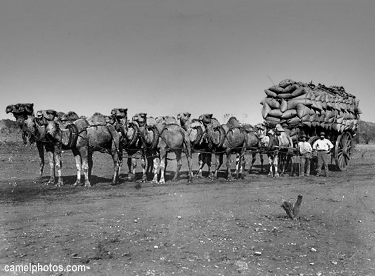 Camels pulling a wagon in the Australian outback.