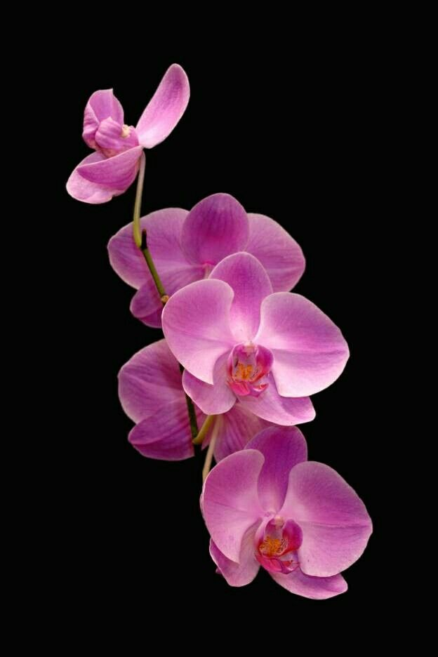 Pink Orchids.......
