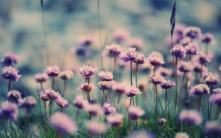 Flores Campos púrpura Macro Close Hojas suave HD Gratis in Naturaleza y Paisajes. Toneladas de calidad HD gratis para descargar fondos de pantalla y fondos de escritorio y móviles