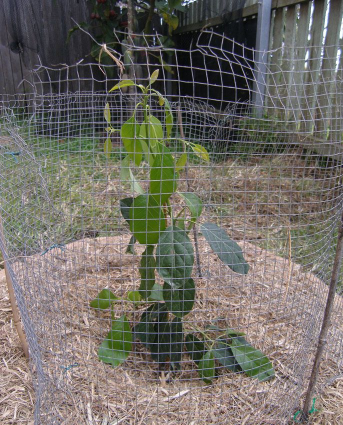 Dwarf Avocado Pinkerton Tree - Persea americana
