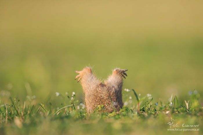 The Little Ground Squirrel Had Probably Eaten Too Much And Stayed In His Cave Entrance Stuck