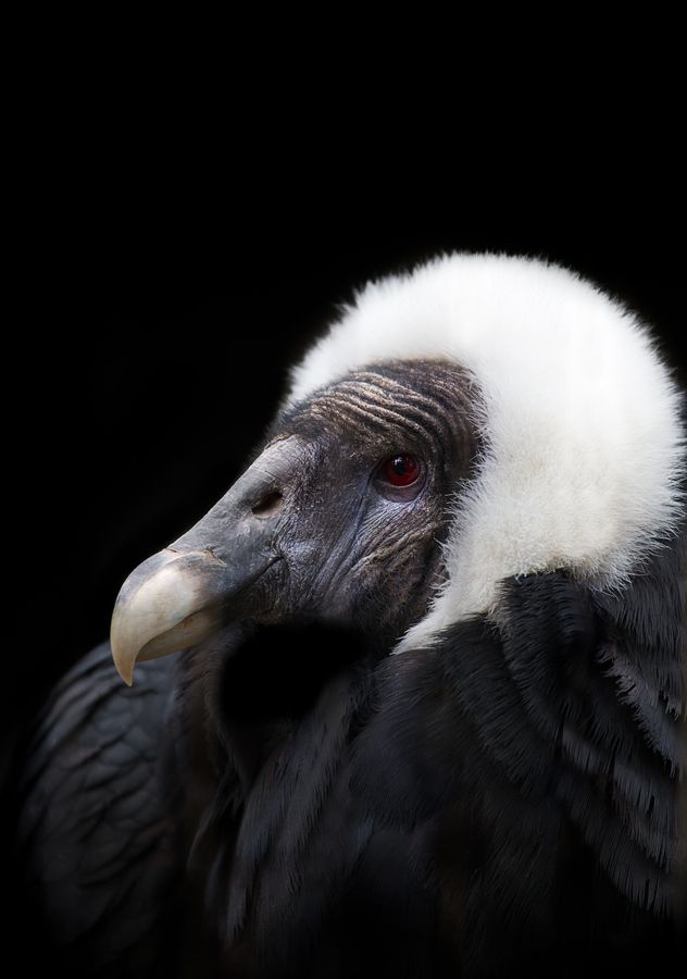Beatriz, Queen of the Andean Condors
