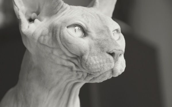 10 Most Unusual Cat Breeds in the World - http://green-buzz.net/animals/10-most-unusual-cat-breeds-in-the-world/               Everyone knows just how affectionate folks can be about cats. And those emotions might be twice as powerful when it comes to exotic breeds, even (or especially!) if the cats are a little… well… different looking! The kitties on this list certainly stand out from your average...