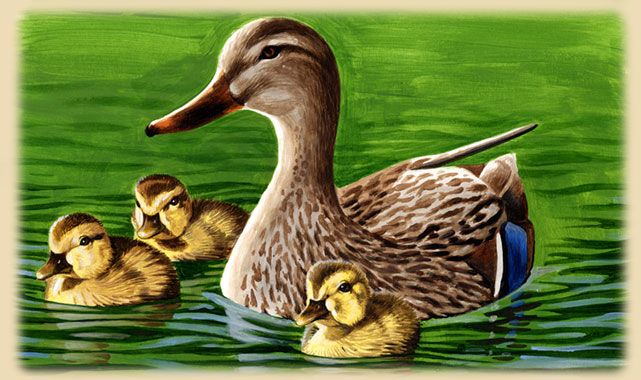 Mallard Duck Facts & Information