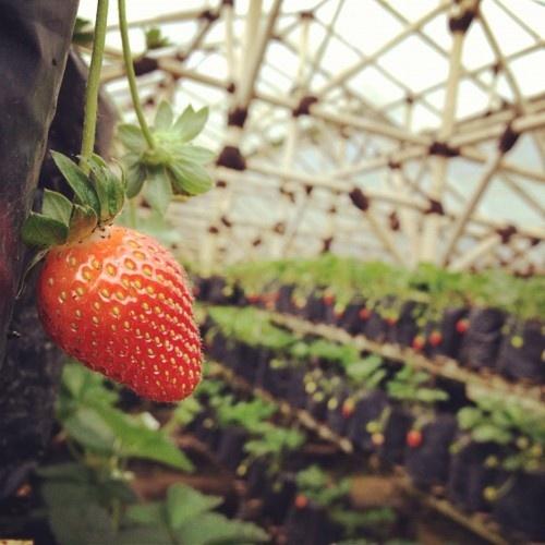 Strawberry farm in Bandung, Indonesia