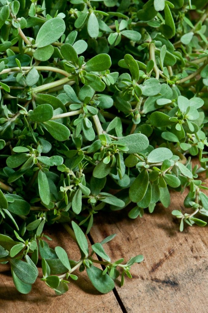 Purslane has a bit of a mild sweet-sour taste. All parts of the plant are edible but make sure if you are wild harvesting make sure that you wash it well (it does grow on the ground) and it has not been sprayed with any pesticides or fertilizer.