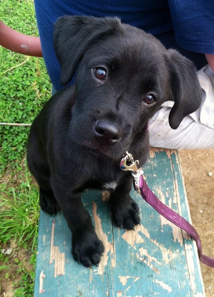 best 25 black labs ideas on pinterest black labrador black lab puppies and lab puppies. Black Bedroom Furniture Sets. Home Design Ideas