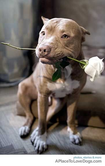 I got a rose for you ~Pitbulls, bad owners, NOT bad dogs !!! ~barb