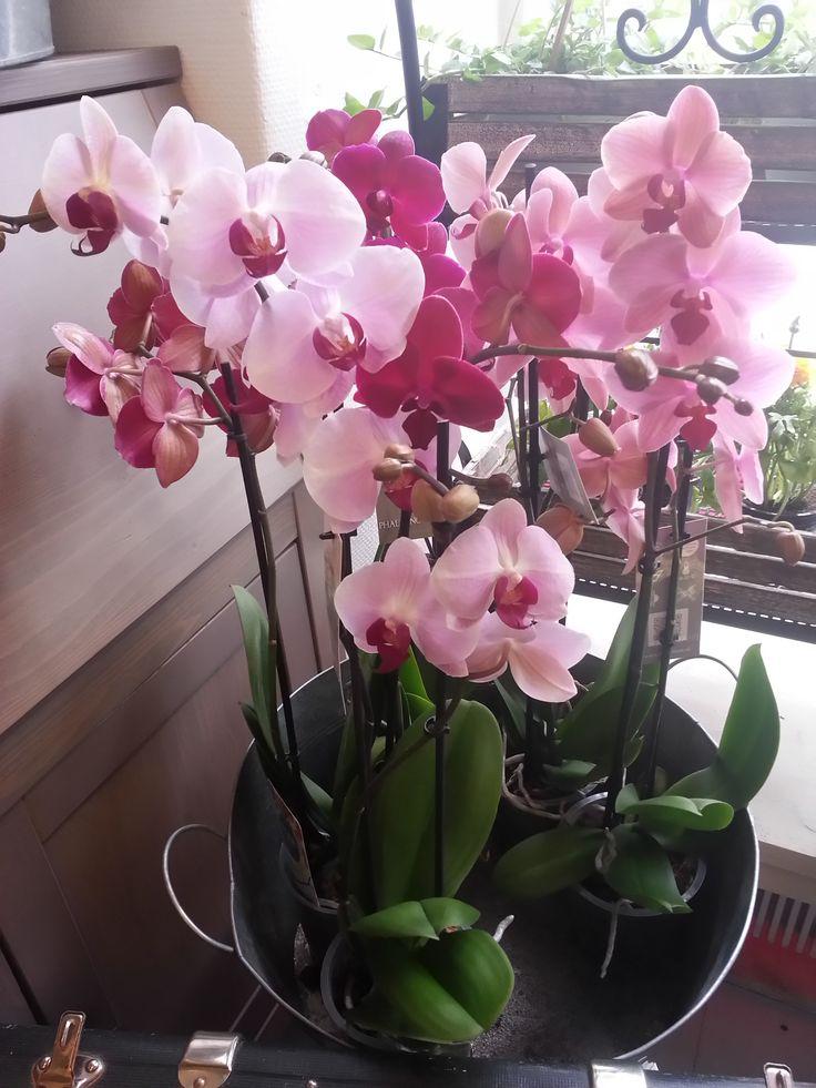 Punaiset orkideat