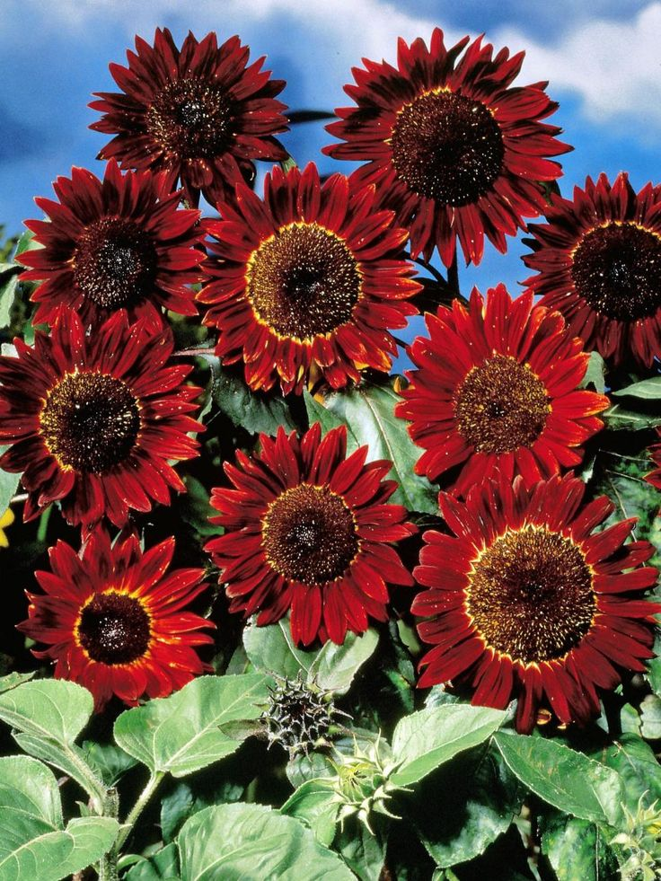 Earth Walker - Discover unique, vibrant sunflowers in shades of red, brown, purple, orange and more.
