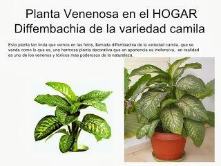 17 mejores ideas sobre plantas venenosas en pinterest - Plantas venenosas de interior ...