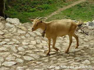 La cabrita paseando por la calzada romana