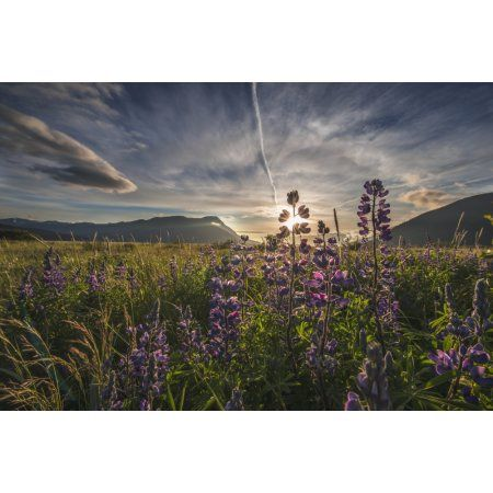 Evening sun shines through Arctic Lupine patch along the Turnagain Arm south of Girdwood Southcentral Alaska Canvas Art - Carl Johnson Design Pics (19 x 12)