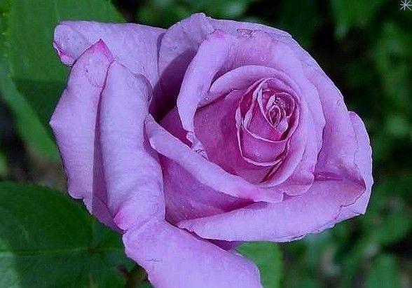 Роза чайно-гибридная Голубой Нил, фото 3